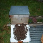 A swarm being Hived.