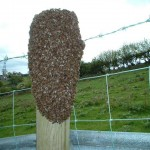 Swarm on fence post