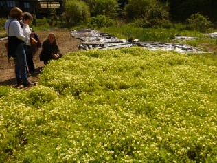 Large scale planting of Poached egg plant at CAT, May 2017. A great bee plant.