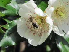 Bee on eucryphia