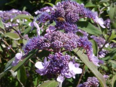Honeybees collecting turquoise pollen from hydrangea villosa.