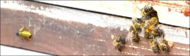 wasp b