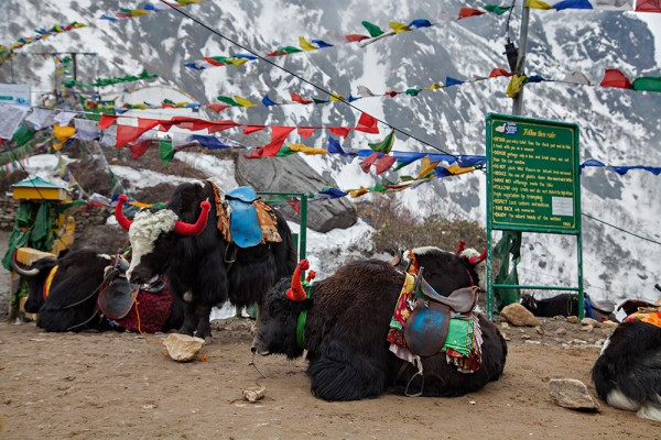 Yaks up at Nathu La Pass near Lake Tsongmo in Sikkim, India.