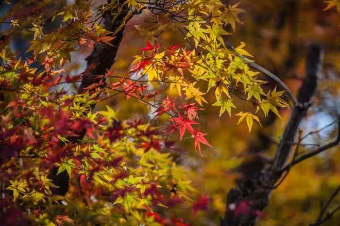autumn leaves japan