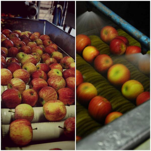 Apple Picking in Bilpin