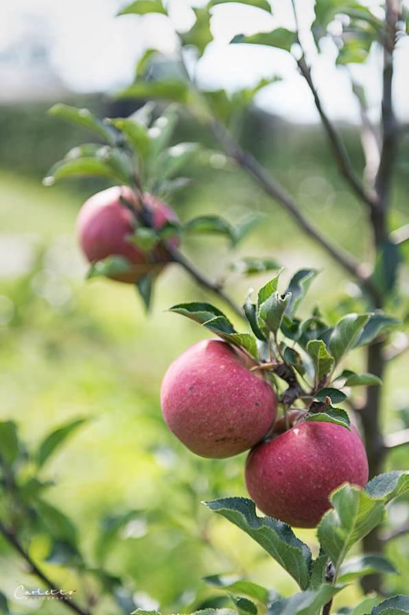 Bio Äpfel Steiermark _3629