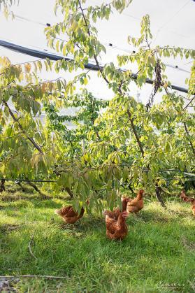 Bio Hühner Kirschgarten