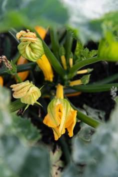 Gemüsegarten Goldader_7960