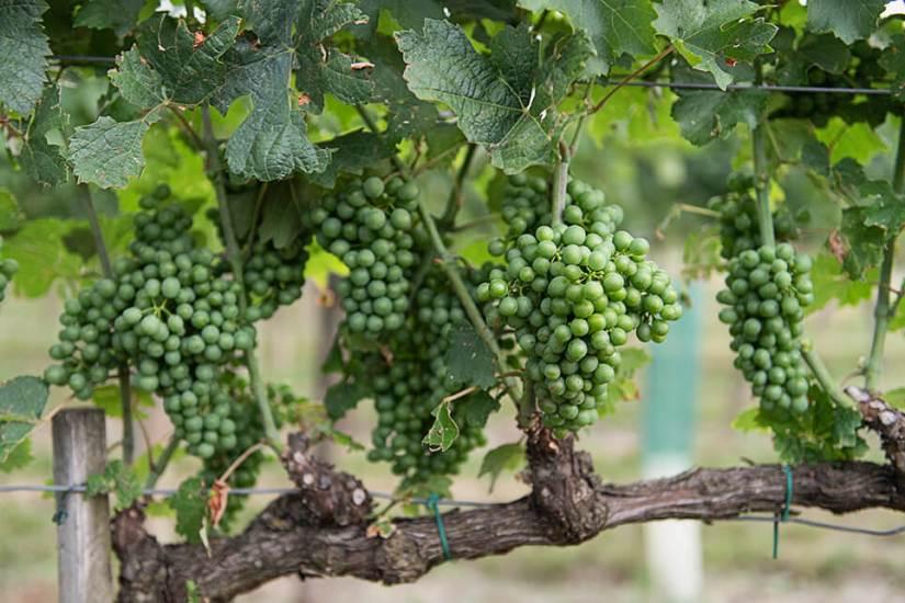 Österreich Wein Weingut Fritsch_1445