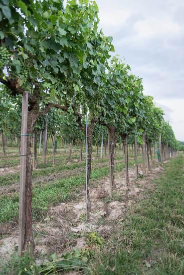 Österreich Wein Weingut Fritsch_1451