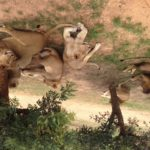 Tourist Tuesday: South Africa Lion Park
