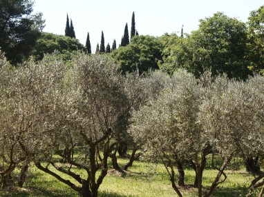 Cypresses and olive trees - quintessential Provemce
