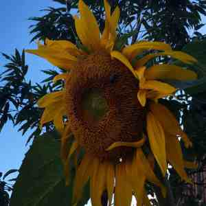 There are always Sunflowers in August, everywhere I go.