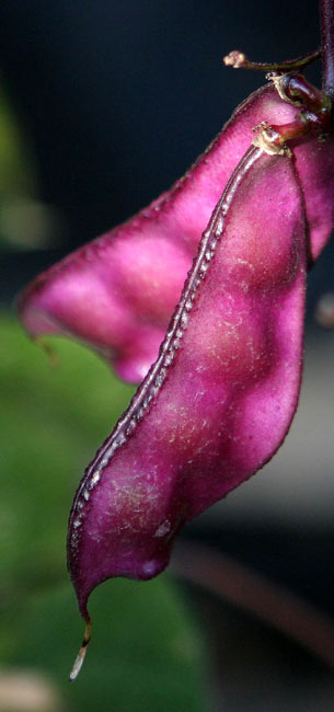 kitchen tools island rolling hyacinth bean: wiki facts for this cookery ingredient