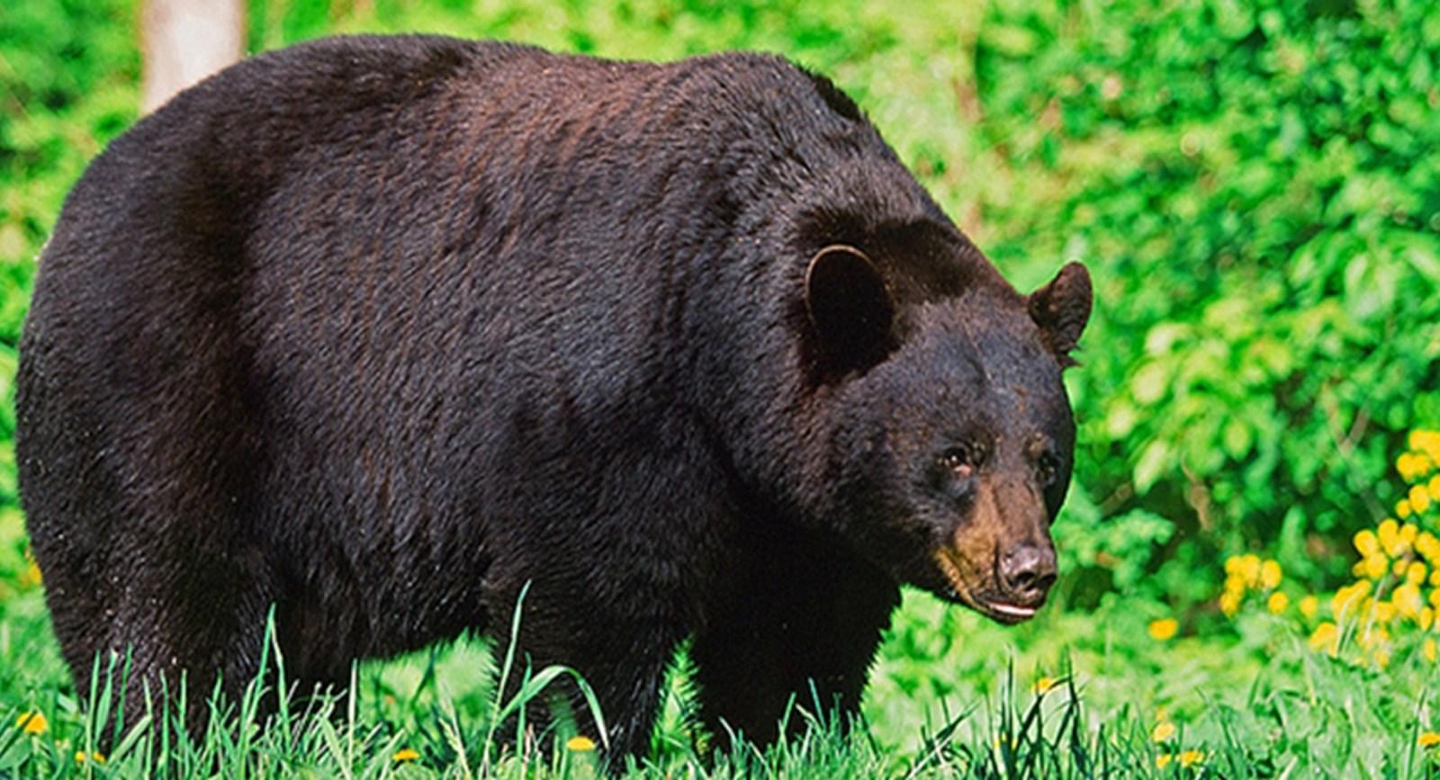 Saskatchewan black bear - image