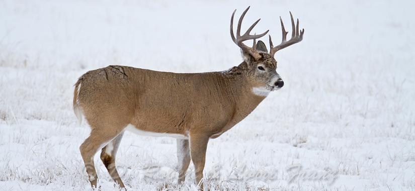whitetail deer - image