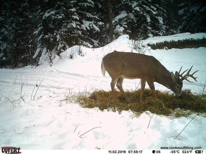 white tail deer cam - image