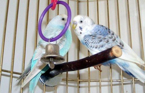 Parakeet illness symptoms  Learn the easy way