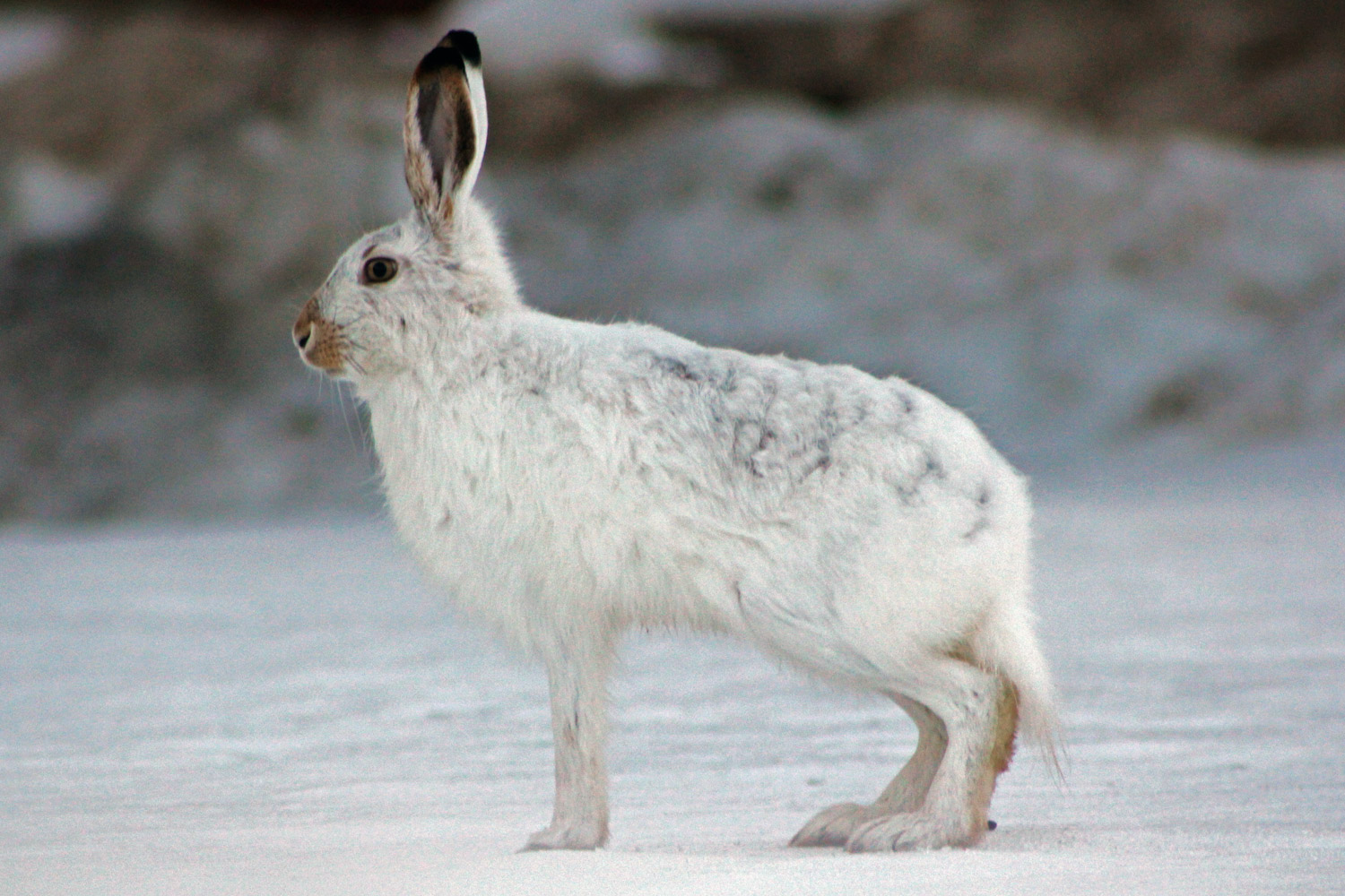 arctic hare facts and
