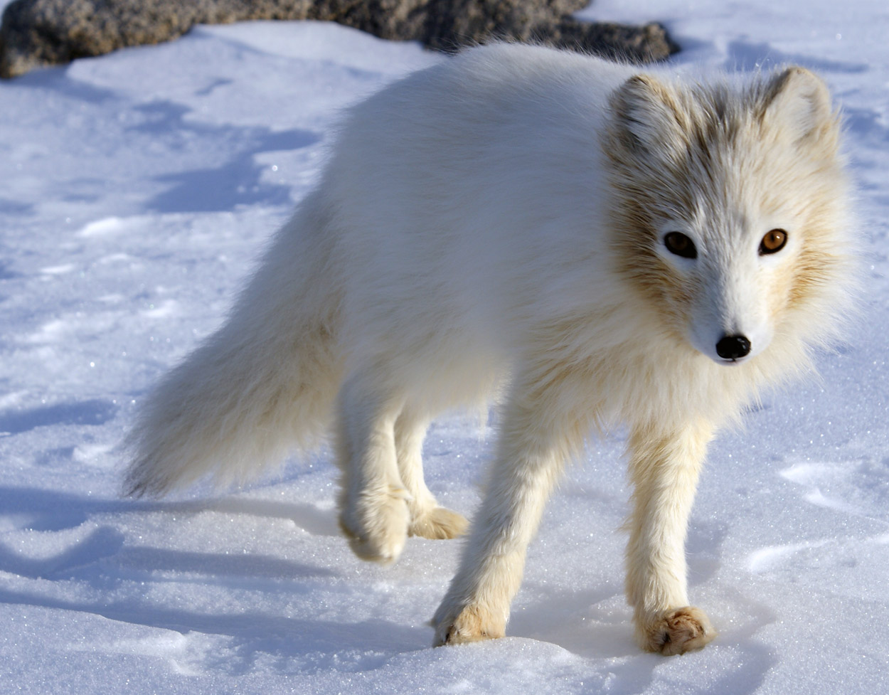 arctic fox facts and