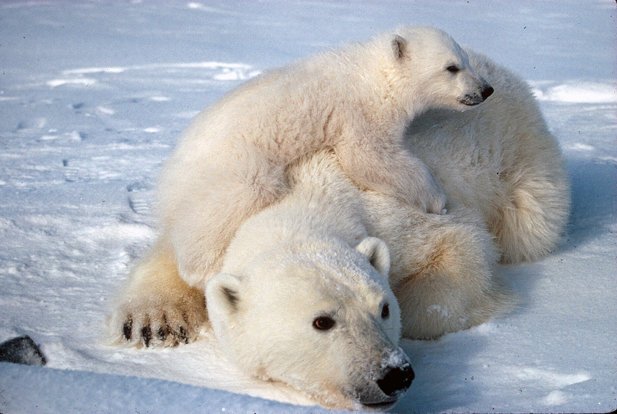 Polar Bear Facts And Adaptations