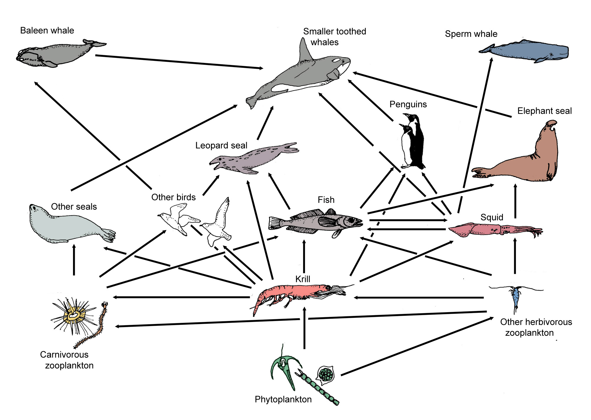 Antarctic Food Web And Food Chains