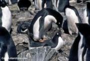 thumbnails - adelie penguin bad