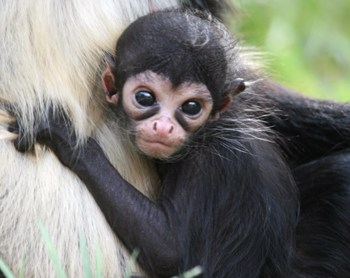 Spider Monkey Facts For Kids – Amazing Facts About Spider Monkeys For Kids