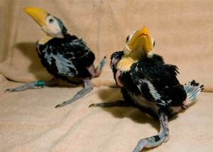 baby toucans facts for kids