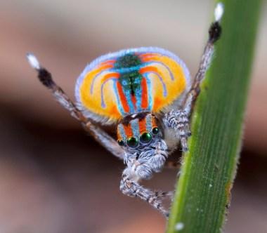MalePeacockSpider Jurgen Otto CC2 Att Sa Gen - Los Invertebrados Definición y carateristicas
