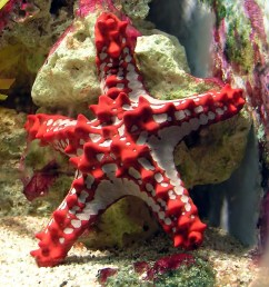 a five armed starfish represents the group more than any other member in the human mind at least despite being colourful and knobbly it is perfectly clear  [ 1500 x 1072 Pixel ]