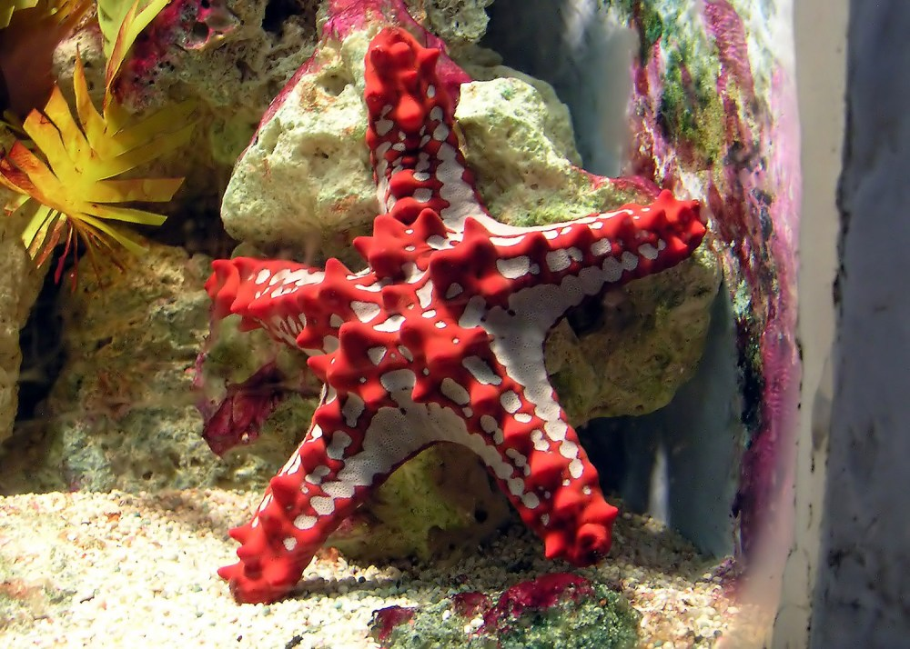 medium resolution of a five armed starfish represents the group more than any other member in the human mind at least despite being colourful and knobbly it is perfectly clear