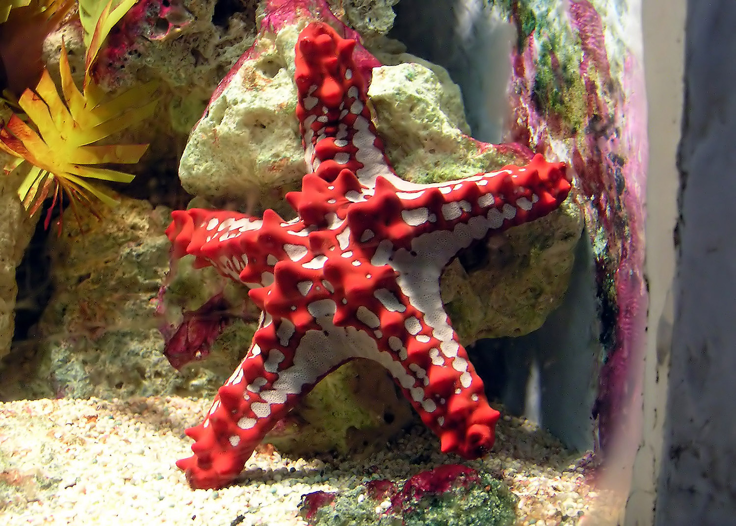 hight resolution of a five armed starfish represents the group more than any other member in the human mind at least despite being colourful and knobbly it is perfectly clear