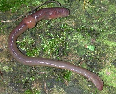 Regenwurm sm - Los Invertebrados Definición y carateristicas