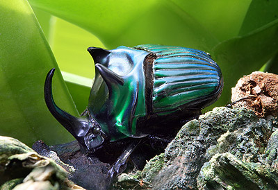 scarab1 sm - Los Invertebrados Definición y carateristicas
