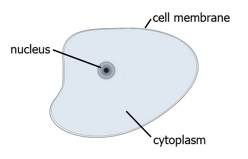 Simple Cell Diagram For Kids Plant Cells
