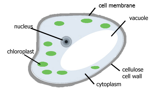 Diagram Of A Cell From The Leaf Plant Zoshwiki