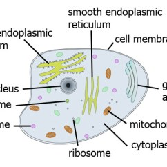 Endoplasmic Reticulum Animal Cell Diagram Mitosis And Meiosis Large Cells Biology For Students More About