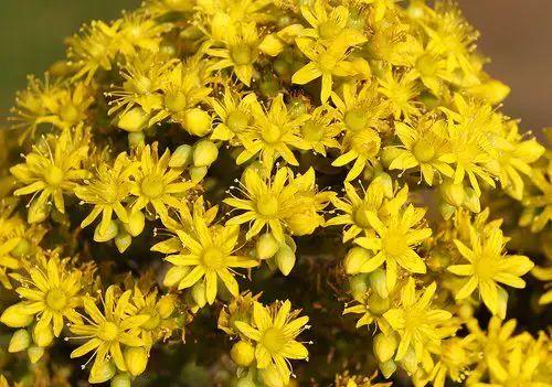 aeonium flowers