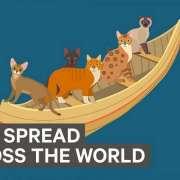 Infographic over hoe katten door de jaren heen zijn verspreid over de hele wereld