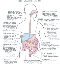 Digestive System Facts   Cool Kid Facts [ 1024 x 913 Pixel ]