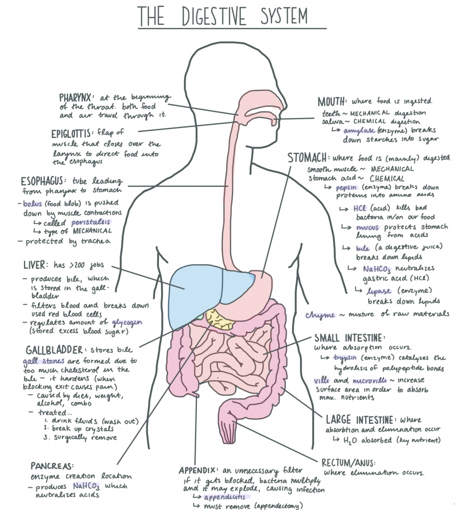 hight resolution of digestive system