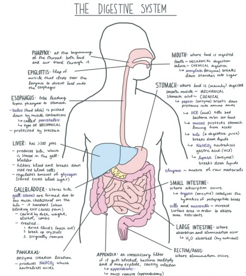 small resolution of digestive system