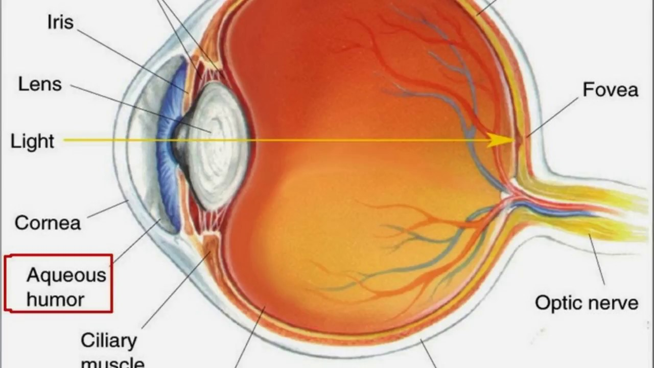 hight resolution of it helps the eye keep its shape a sphere or globe and holds the retina in place