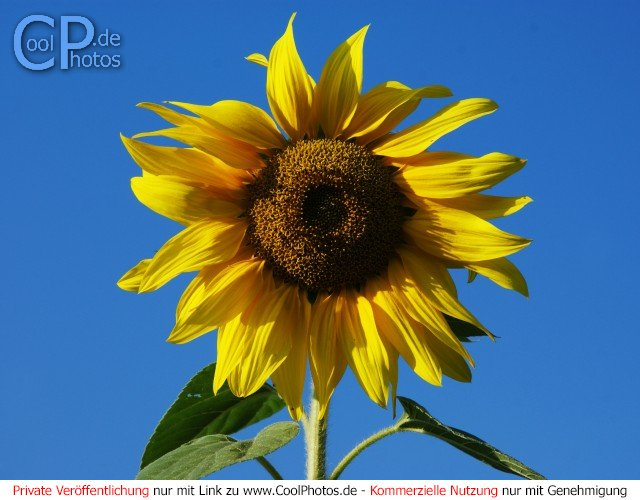 CoolPhotosde  Fotos  Blumen  Sonnenblumen
