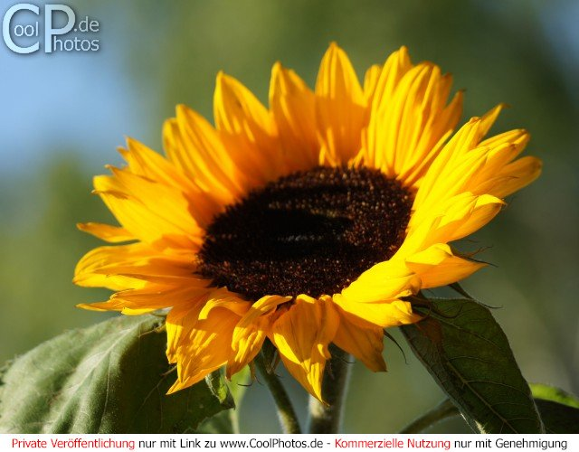 CoolPhotosde  Fotos  Blumen  Sonnenblumen  Bild Nr 13