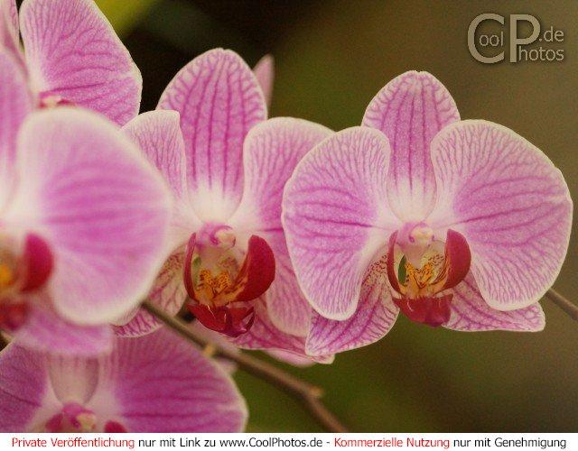 CoolPhotosde  Fotos  Blumen  Orchideen