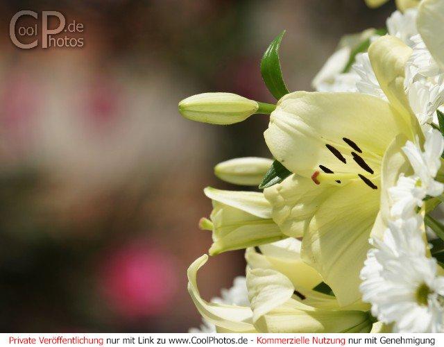 CoolPhotosde  Fotos  Blumen  Blumenstrue
