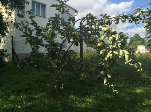 Jettes Apfelbaum voller Äpfel