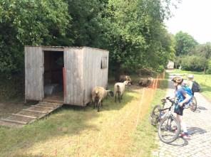 Schafe im Wohnwagen